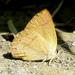 Habrodais grunus - Photo (c) johnvillella, algunos derechos reservados (CC BY-NC-SA)