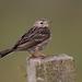 Bisbitas - Photo (c) themadbirdlady, algunos derechos reservados (CC BY-NC-ND)