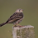 Pipits - Photo (c) themadbirdlady, some rights reserved (CC BY-NC-ND)