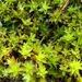 Intermediate Screw-Moss - Photo (c) jerry2018, some rights reserved (CC BY-NC)