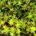 Syntrichia montana - Photo (c) jerry2018, algunos derechos reservados (CC BY-NC)
