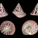 Commercial Top Shell - Photo (c) H. Zell, some rights reserved (CC BY-SA)