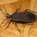Squash Bug - Photo (c) Lee Elliott, some rights reserved (CC BY-NC-SA)