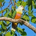 Rose-crowned Fruit-Dove - Photo (c) QuestaGame, some rights reserved (CC BY-NC-ND)