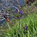 Camassia leichtlinii suksdorfii - Photo (c) chlorophilia, algunos derechos reservados (CC BY-NC), uploaded by Andrew Simon
