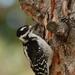 Dryobates villosus - Photo (c) Mark Olivier,  זכויות יוצרים חלקיות (CC BY-NC)