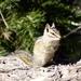 Neotamias canipes - Photo (c) CK Kelly, algunos derechos reservados (CC BY)