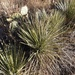Intermediate Yucca - Photo (c) Chris, some rights reserved (CC BY-NC-SA)