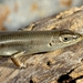 Bridled Skink - Photo (c) Roberto Sindaco, some rights reserved (CC BY-NC-SA)