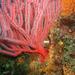Lophogorgia chilensis - Photo (c) NOAA Photo Library, algunos derechos reservados (CC BY)