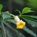 Tabernaemontana donnell-smithii - Photo (c) jaumeizquierdo, alguns direitos reservados (CC BY-NC)
