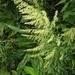 Artemisia princeps - Photo (c) Qwert1234, algunos derechos reservados (CC BY-SA)