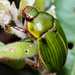 Mumu Chafer - Photo (c) paddy, some rights reserved (CC BY-NC)