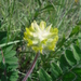Yellow Milkvetch - Photo (c) Andrii Churilov, some rights reserved (CC BY-NC)