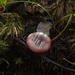 Russula emetica - Photo (c) Иван Матершев, algunos derechos reservados (CC BY-NC)