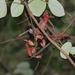 Tolypanthus lagenifer - Photo (c) mayuresh kulkarni, some rights reserved (CC BY-NC)