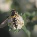 Allograpta hortensis - Photo (c) orlandomontes,  זכויות יוצרים חלקיות (CC BY-NC)