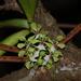 Smithsonia viridiflora - Photo (c) mayuresh kulkarni,  זכויות יוצרים חלקיות (CC BY-NC)