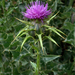 Milk Thistle - Photo no rights reserved