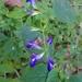Salvia caudata - Photo (c) Carlos Velazco, osa oikeuksista pidätetään (CC BY-NC), uploaded by Carlos G Velazco-Macias