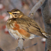 Redwing - Photo (c) Aleksey Levashkin, some rights reserved (CC BY-NC)