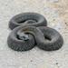 Iberian Grass Snake - Photo (c) Gilberto Sánchez Jardón, some rights reserved (CC BY-NC-SA)