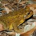 Cane Toad - Photo (c) Steve Kerr, some rights reserved (CC BY)
