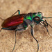 Cicindela scutellaris - Photo (c) Ted MacRae,  זכויות יוצרים חלקיות (CC BY-NC-ND)
