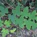 Rubus reflexus - Photo (c) sunnetchan, algunos derechos reservados (CC BY-NC-SA)