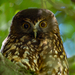 Morepork - Photo (c) Pete McGregor, some rights reserved (CC BY-NC-ND)