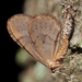 Winter Moth - Photo (c) Kees Waterlander, some rights reserved (CC BY-NC-SA)