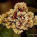Ixora brachiata - Photo (c) mayuresh kulkarni, algunos derechos reservados (CC BY-NC)