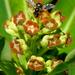 Euphorbia mellifera - Photo (c) James Gaither, μερικά δικαιώματα διατηρούνται (CC BY-NC-ND)
