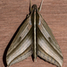 Elibia dolichus - Photo (c) Vijay Anand Ismavel, some rights reserved (CC BY-NC-SA), uploaded by Dr. Vijay Anand Ismavel MS MCh