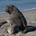Elefante Marino Norteño - Photo (c) Mike Baird, algunos derechos reservados (CC BY)