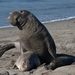 Northern Elephant Seal - Photo (c) Mike Baird, some rights reserved (CC BY)