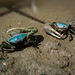 American Broad-front Fiddler Crabs - Photo (c) Pete Romfh, some rights reserved (CC BY-NC-SA)