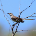Western Mockingbird - Photo (c) Blake Matheson, some rights reserved (CC BY-NC)