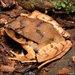 Lechriodus fletcheri - Photo (c) teejaybee, osa oikeuksista pidätetään (CC BY-NC-ND)