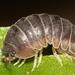 Armadillidiidae - Photo (c) Alan Melville,  זכויות יוצרים חלקיות (CC BY-NC-ND)