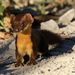 Yellow-bellied Weasel - Photo (c) jbhatia, some rights reserved (CC BY-NC)