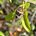 Diceroprocta viridifascia - Photo (c) Bob Peterson,  זכויות יוצרים חלקיות (CC BY-SA)