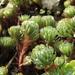 Petrosedum forsterianum - Photo (c) felixerhard, algunos derechos reservados (CC BY-NC), uploaded by felixerhard