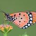 Acraea terpsicore - Photo (c) Ketan Aloni, algunos derechos reservados (CC BY-NC)