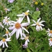 Cascade Aster - Photo (c) brewbooks, some rights reserved (CC BY-SA)