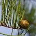 Taxodium ascendens - Photo (c) Mary Keim,  זכויות יוצרים חלקיות (CC BY-NC-SA)