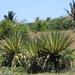 Agave angustifolia marginata - Photo (c) Stephane Philizot, algunos derechos reservados (CC BY-NC)
