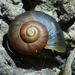 Neocyclotus dysoni - Photo (c) Benjamin Schwartz, osa oikeuksista pidätetään (CC BY-NC)