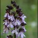 Orchis purpurea - Photo (c) Daniele, algunos derechos reservados (CC BY-NC)
