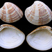 Chamelea striatula - Photo (c) Jan Johan ter Poorten, μερικά δικαιώματα διατηρούνται (CC BY-SA)